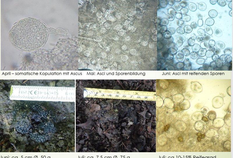 Trüffelreife - vom Fruchtkörperansatz bis zur vollen Reife vergehen ca. 9 Monate