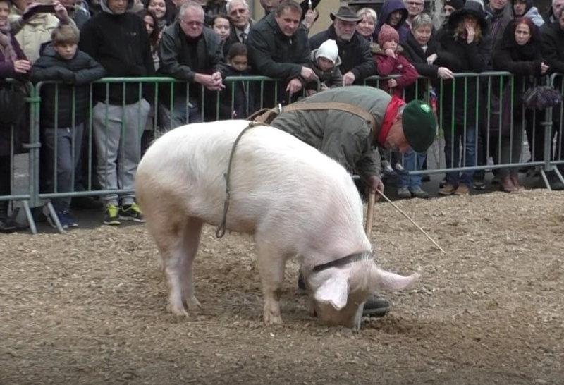 Trüffelschwein oder Trüffelhund - was ist besser