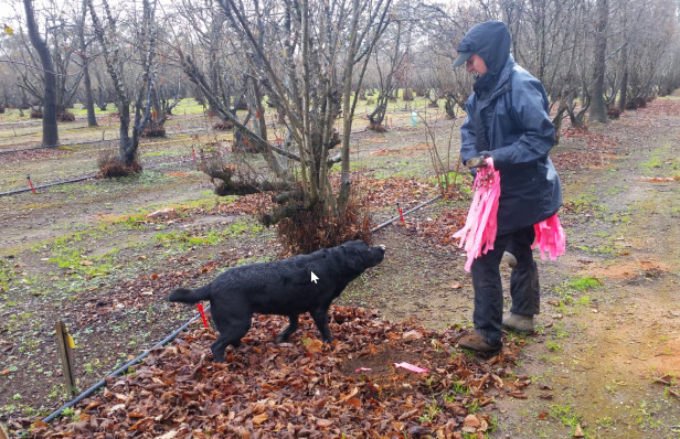 Der Trüffelhund zeigt an - die Hundeführerin markiert